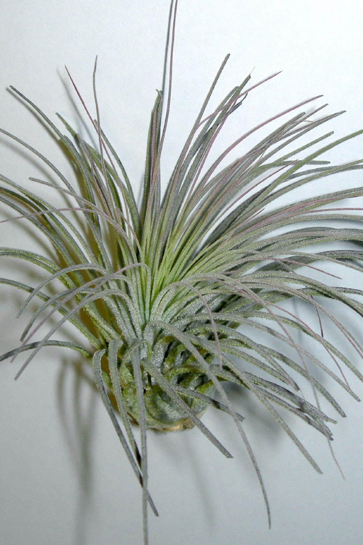 Tidllansia magnusiana