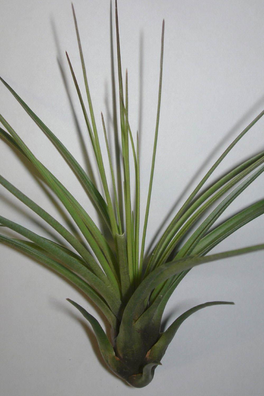Tillandsia melanocrater