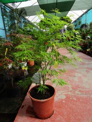 Acer palmatum 'Seiryu' en maceta en Albogarden