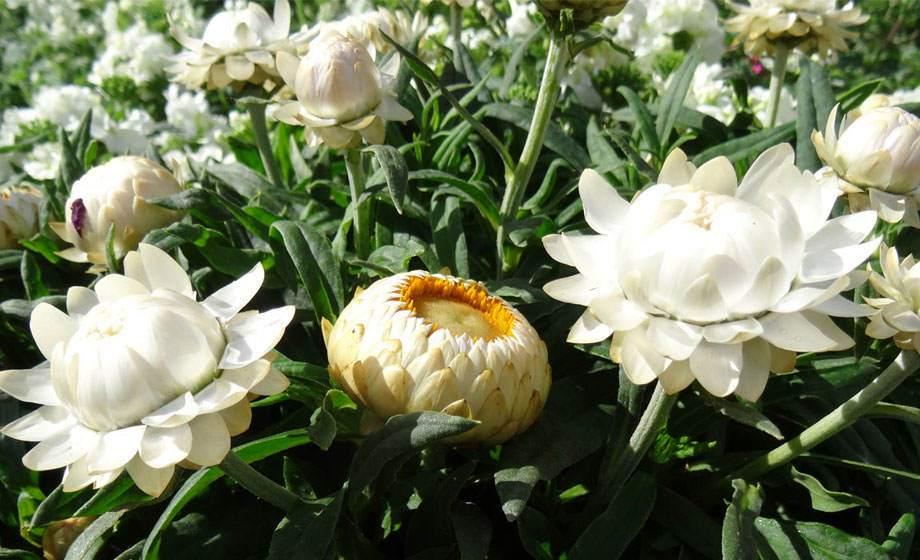 Bracteantha, flor de papel