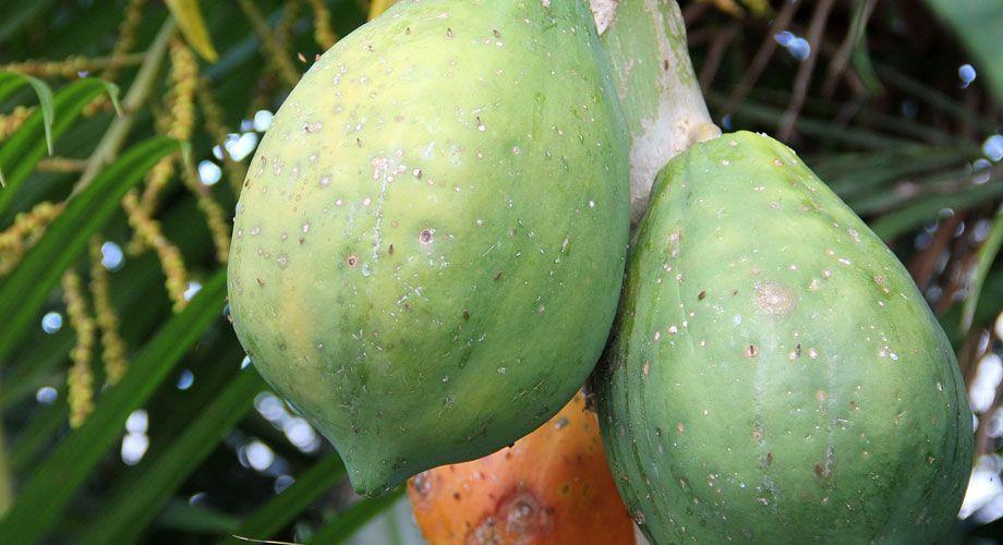 Papaya - Carica papaya