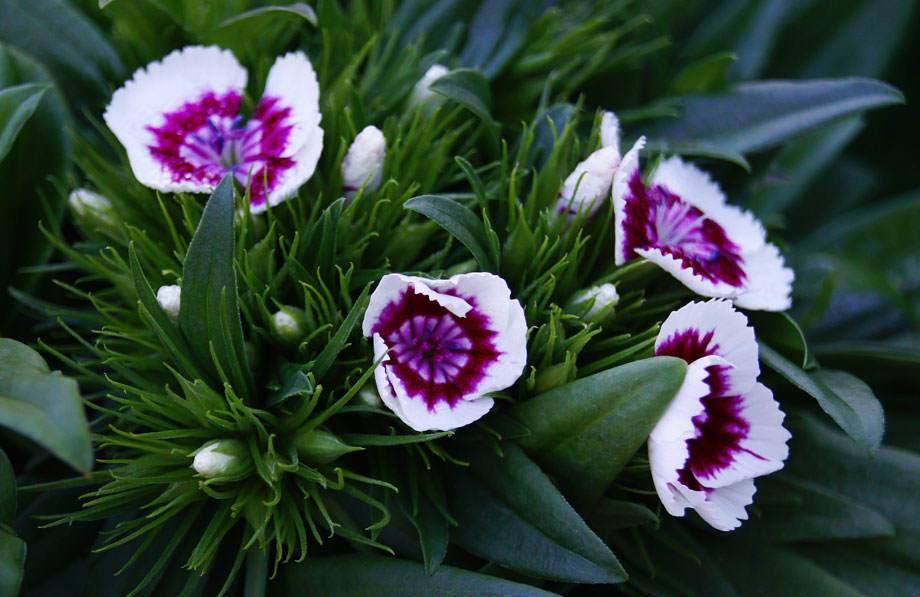 Dianthus barbatus o clavel del poeta