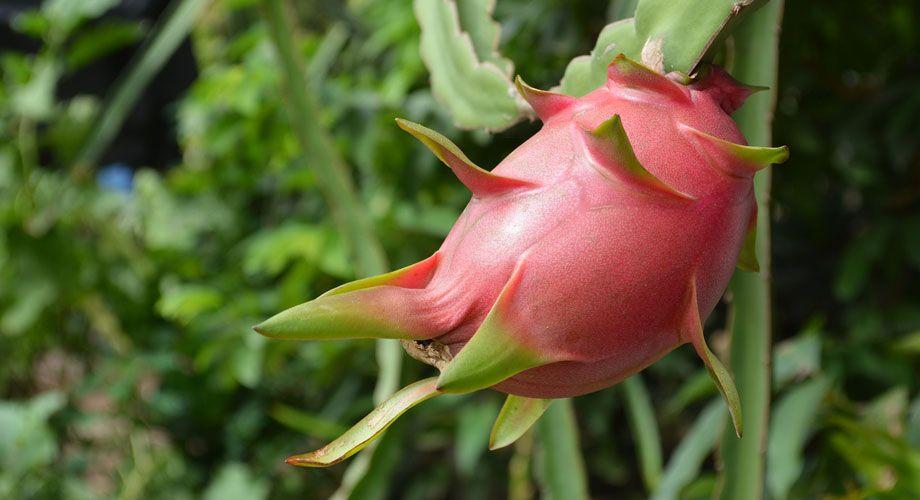 Fruta de dragón, pitalla, Hylocereus undatus