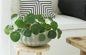 Planta china del dinero - Pilea peperomioides