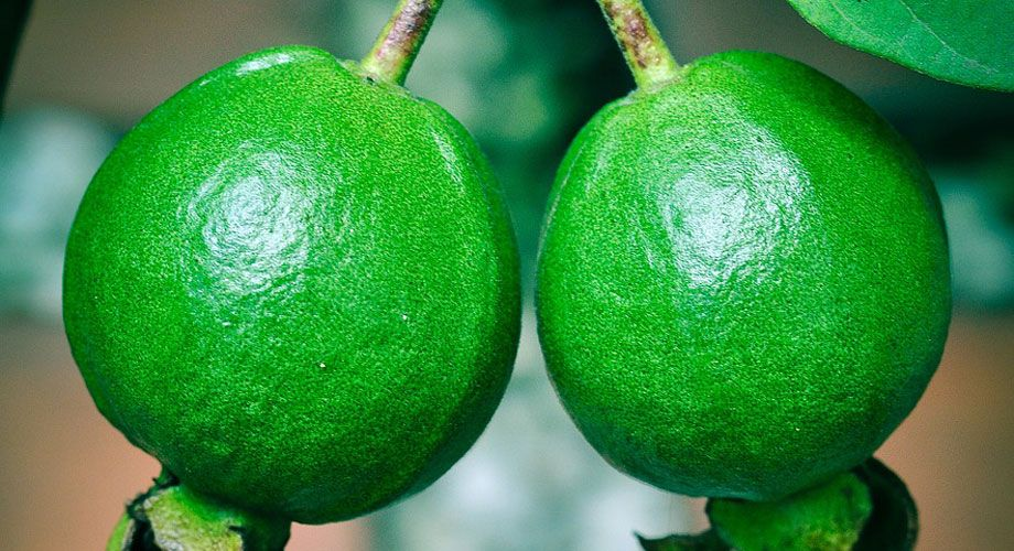 Guayaba - Psidium guajava