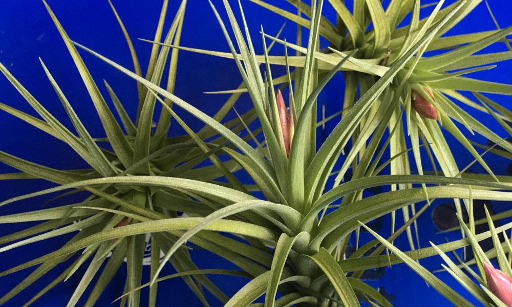 Tillandsia teunifolia