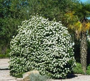 Viburnum tinus ejemplar en jardin