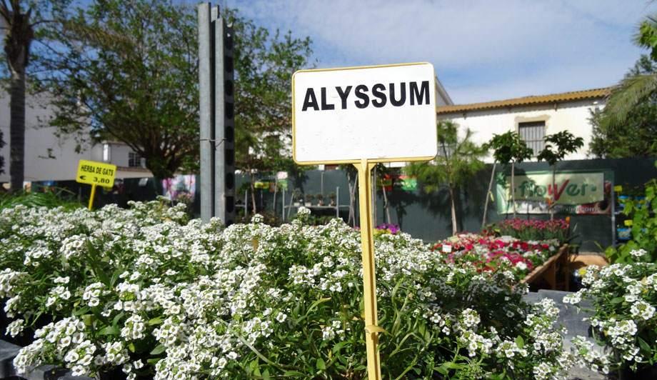 Alyssum blanco