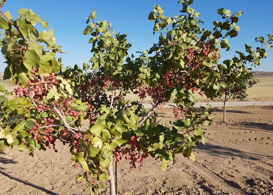 El cultivo del pistachero en Valencia