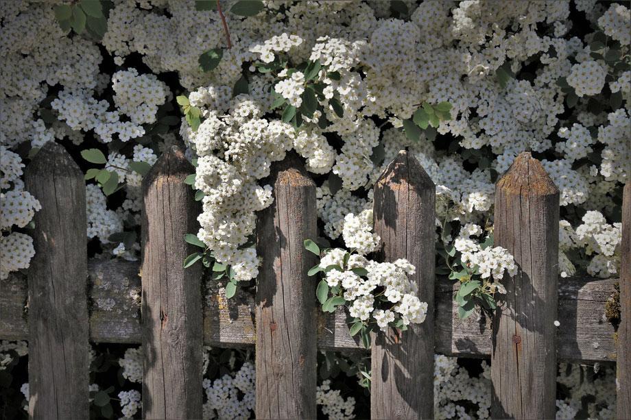 arbusto en floracion