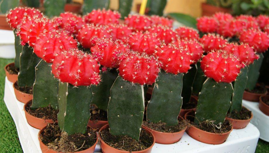 Bandeja de cactus injertados