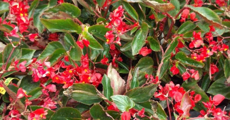 Begonia Dragon Wing