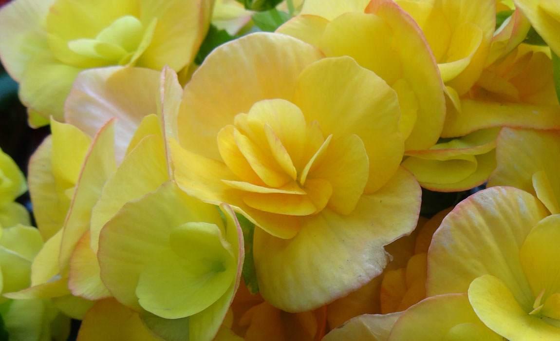 Colección de begonias