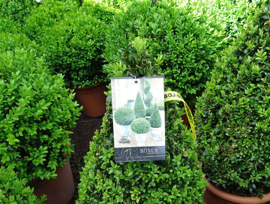 Buxus sempervirens en maceta