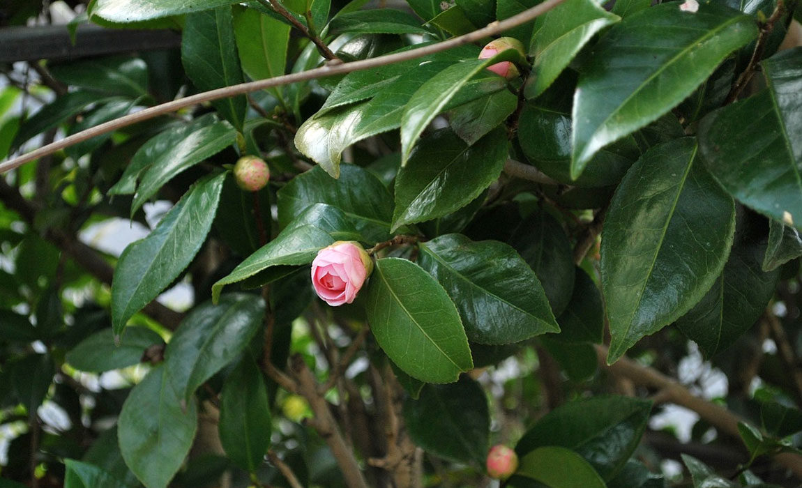 Los cuidados de la Camellia japónica