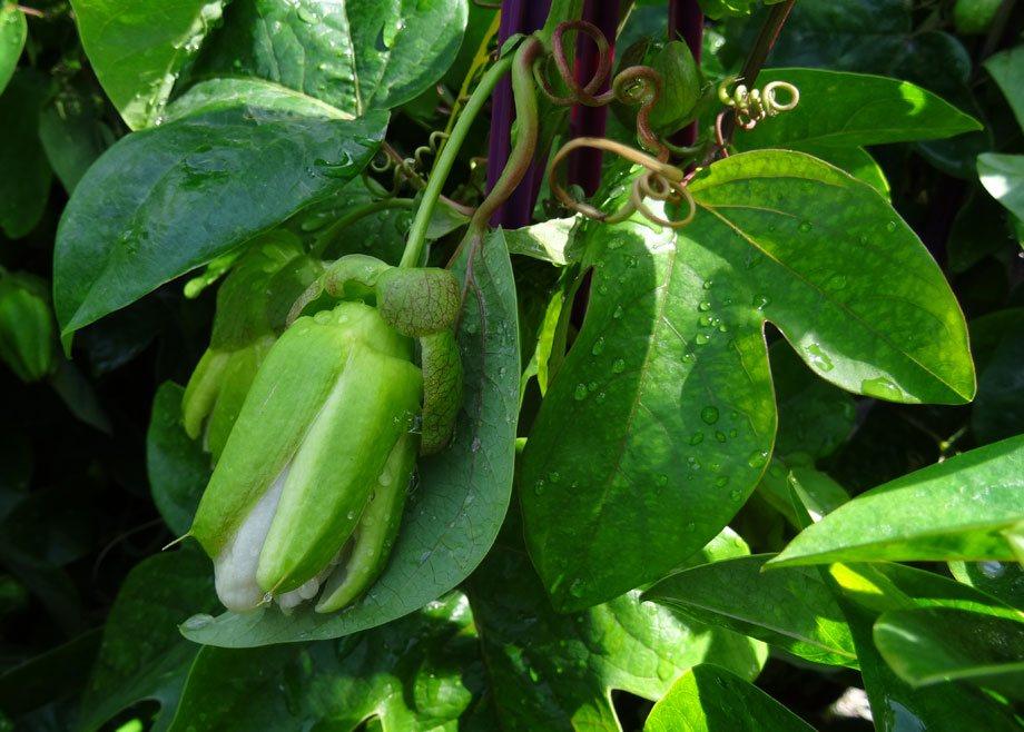 Capullo de la Passiflora caerulea