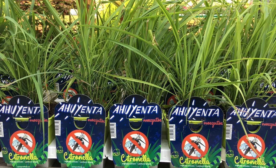 Plantas ahuyenta mosquitos