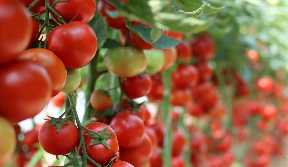 Cultivo de tomates en huerto