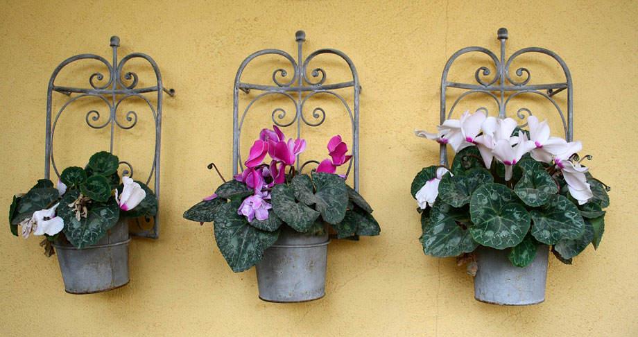 Plantas de Cyclamen