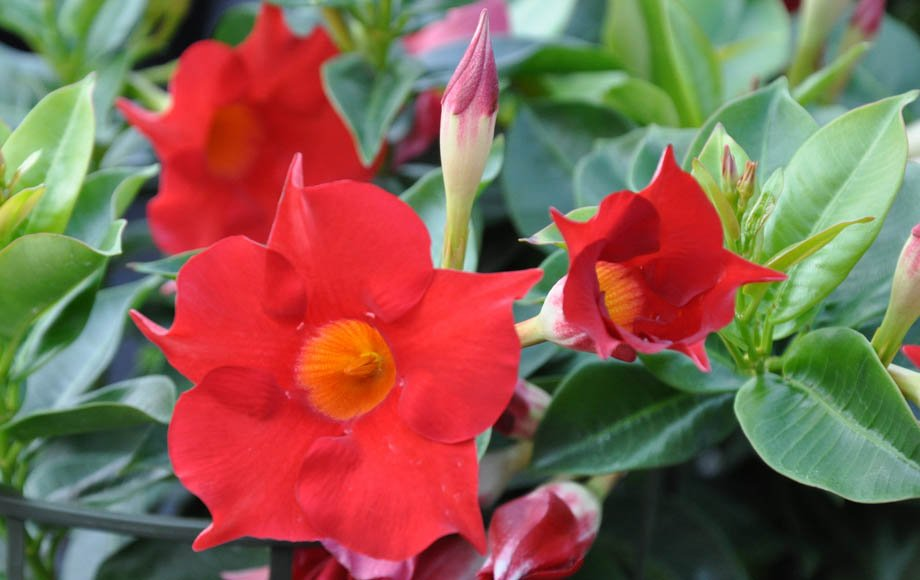 Flores de Dipladenia sanderi rojas