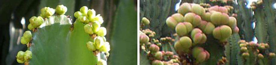 Flores y fruto de la Euphorbia candelabrum