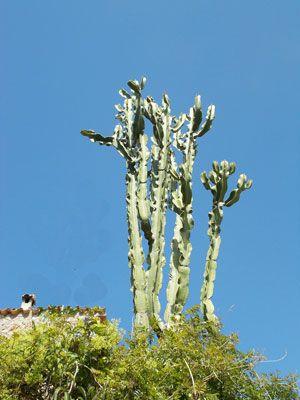 Euphorbia candelabrum en jardín