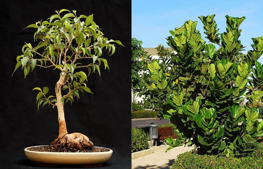 Ficus retusa en bonsai y Ficus lyrata en jardín