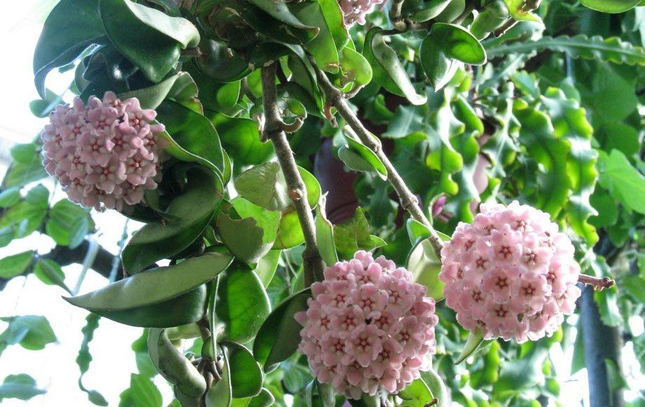 Plantas trepadoras de interior vivers albogarden - Plantas con flor de interior ...