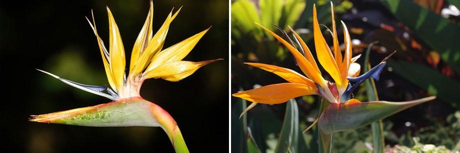 Flores de Strelizia amarilla y naranja