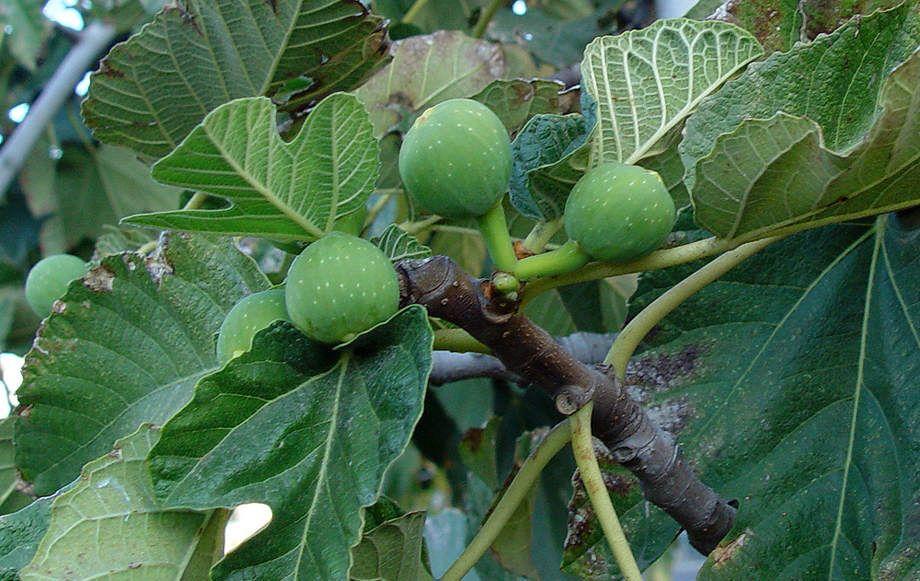 Frutos del Ficus carica
