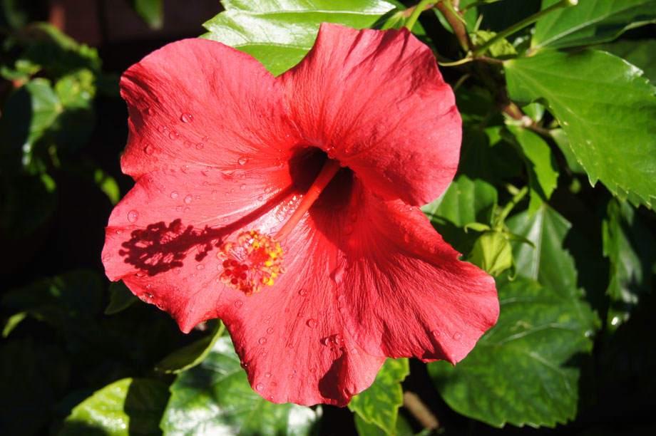 Flor roja de Hibiscus rosa-sinensis
