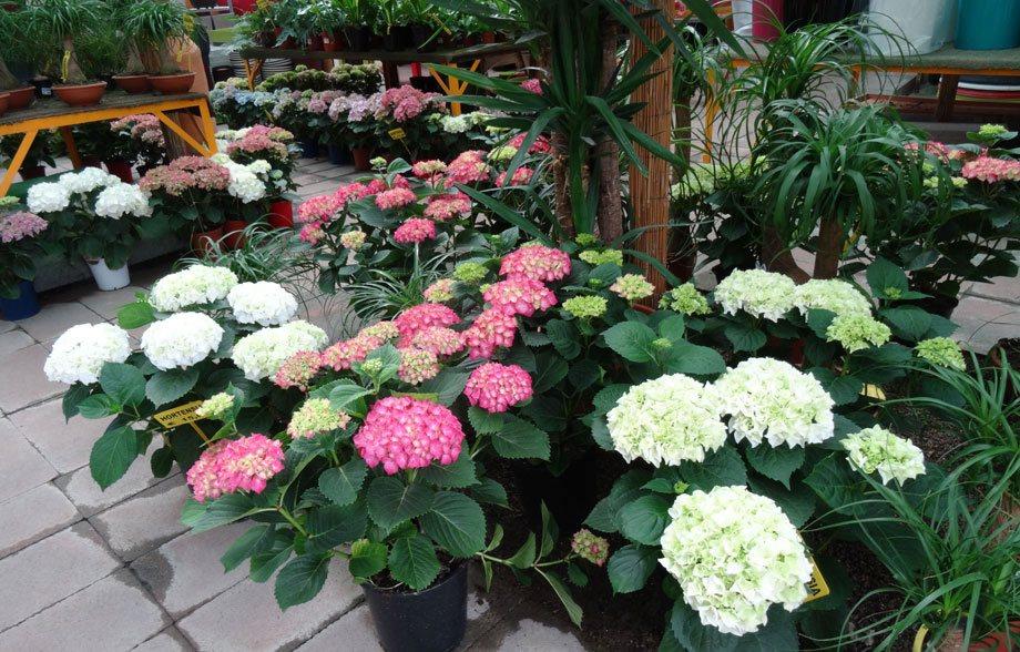 Plantas de Hortensia