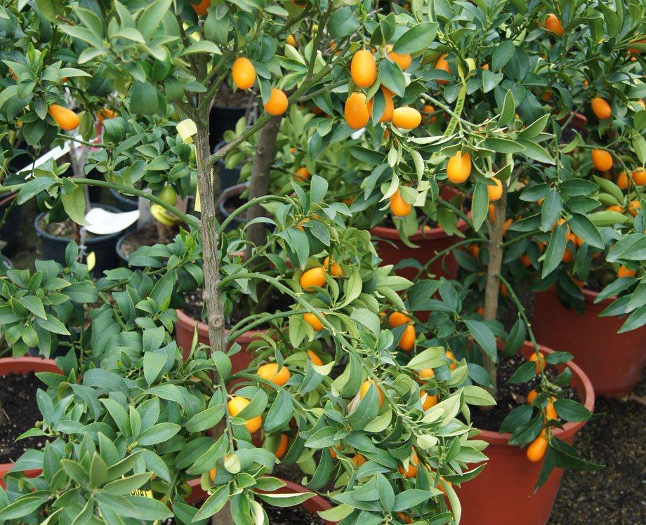 Plantas de Kumquat