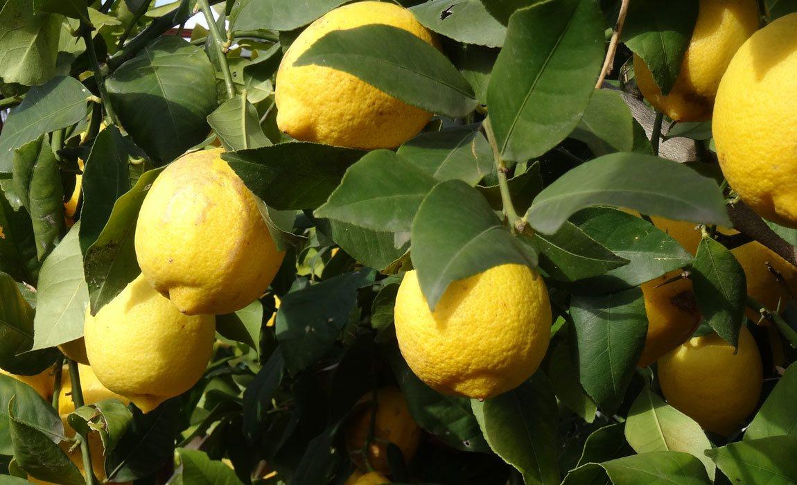 Naranjos y limoneros para macetas
