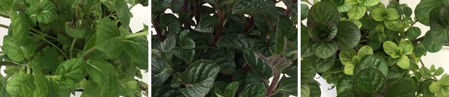 Mentha menta, Mentha berries & cream y Mentha basilico