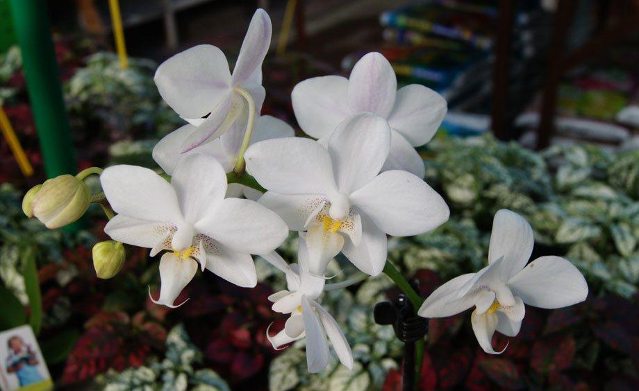 Orquideas Blancas Cuidados Gallery Of Cuidado Orqudea With