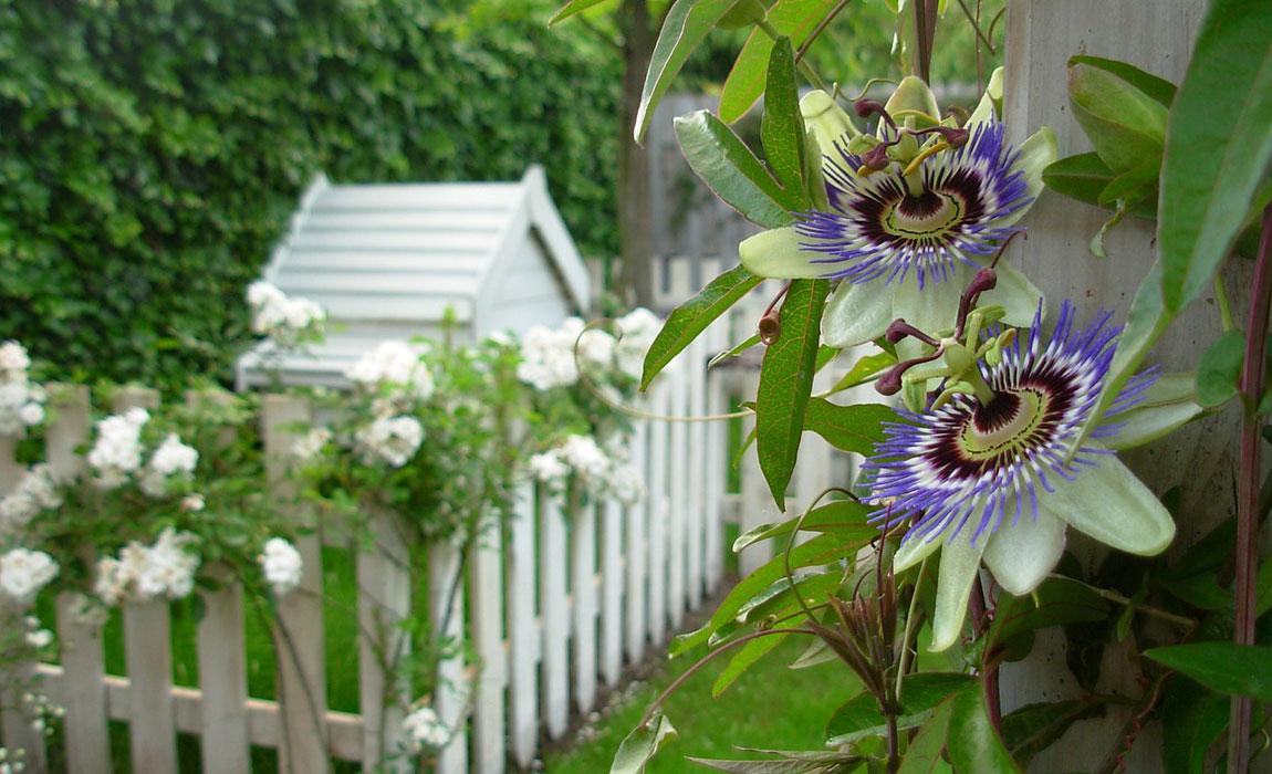 Colección de Passifloras