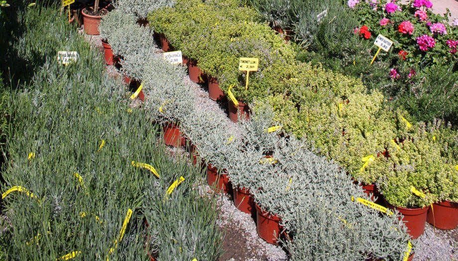 Venta de plantas aromáticas