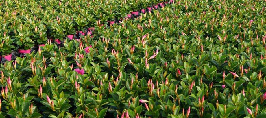 Plantas de Dipladenia sanderi
