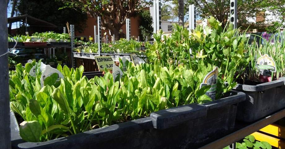 Planteles de hortalizas y verduras