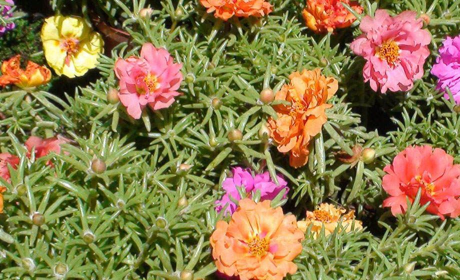 Portulaca grandiflora en flor doble