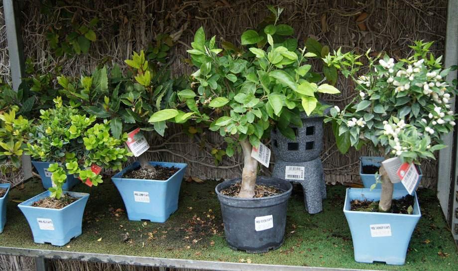 Pre-bonsáis en Albogarden
