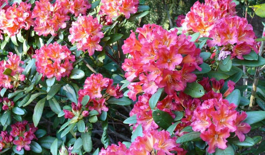 Rhododendro en flor