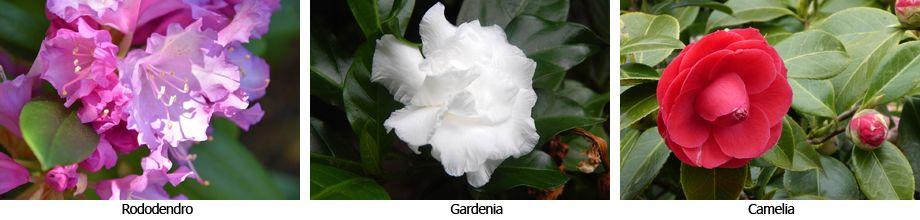 Rododendro, Gardenia y Camelia