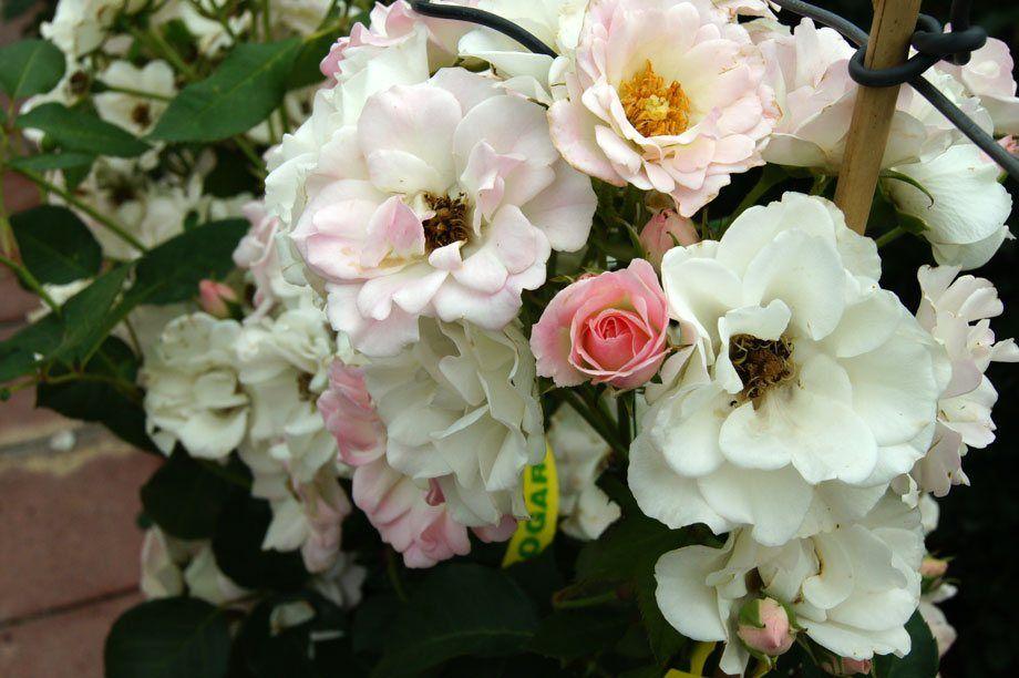Rosal mini trepador blanco