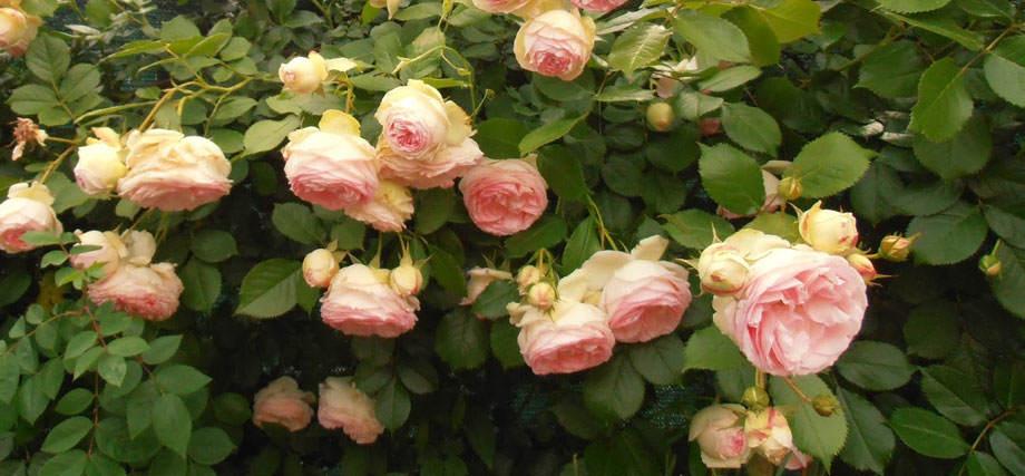 Rosal trepador