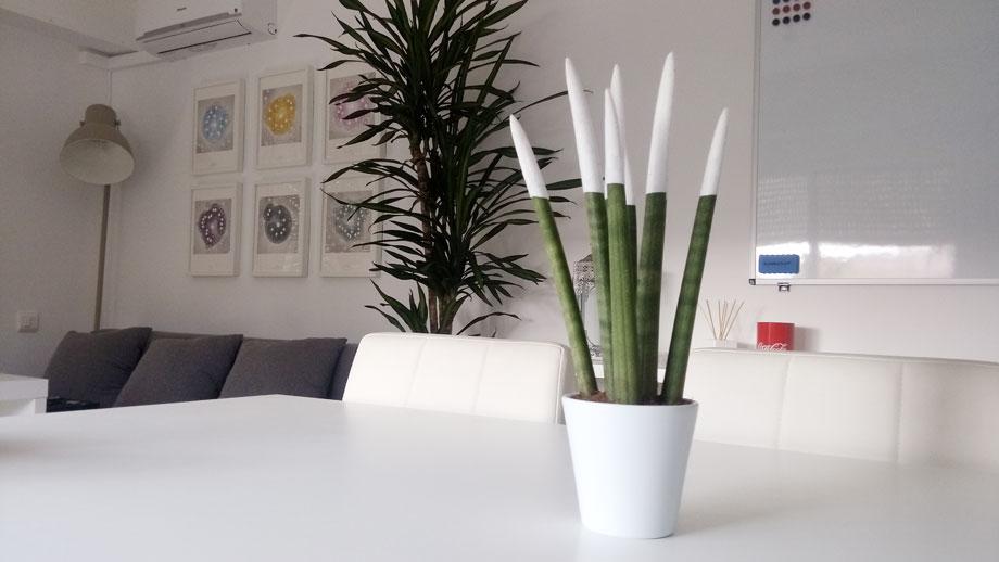 Sansevieria cylindrica en oficina