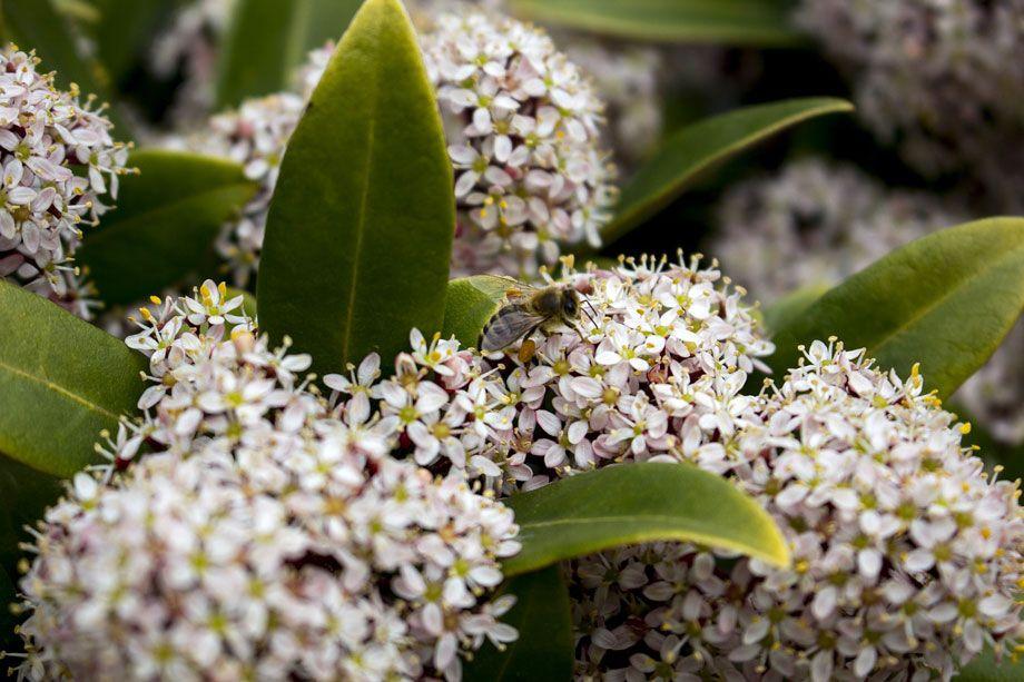 Skimmia japónica 'Rubella' en flor
