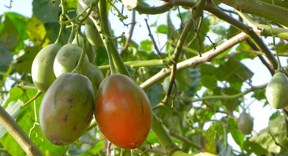 Tamarillo, Solanum betaceum