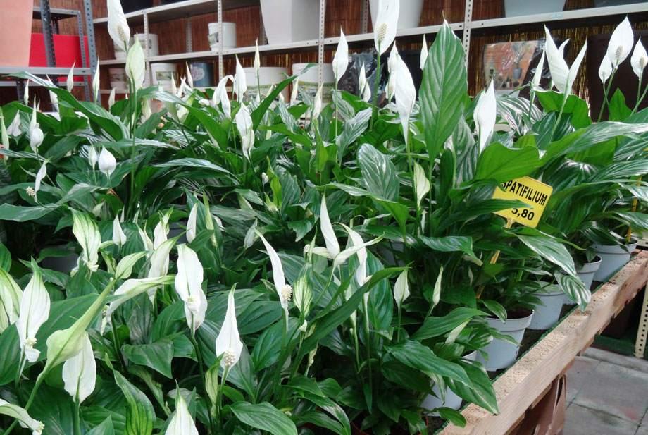 Spatifilium en maceta